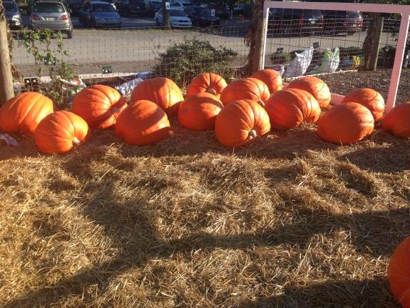 Pumpkins at Orchard