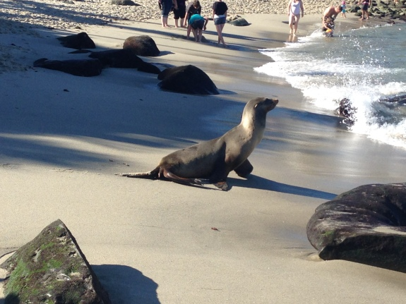 Seal running to water La Jolla Cove